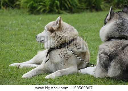 Two Husky dogs lay on green grass.