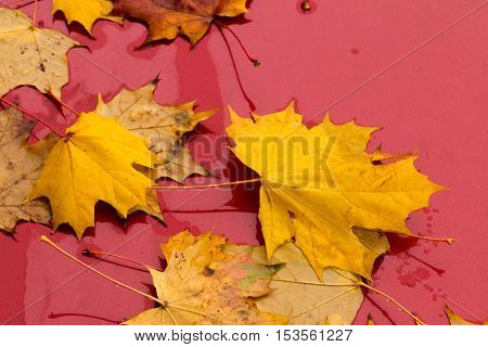 Yellow Maple Leaves On A Red Background