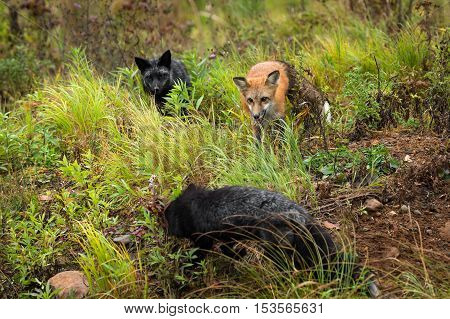 Red Fox and Silver Fox (Vulpes vulpes) Closely Watch Third Fox - captive animals