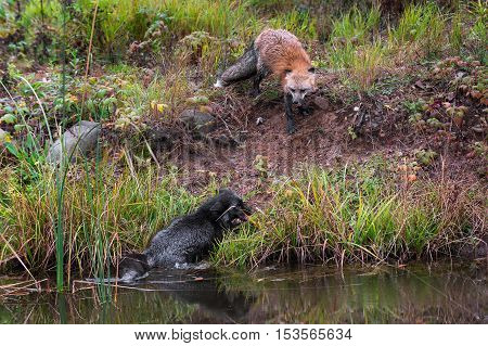 Red Fox Forces Silver Fox (Vulpes vulpes) Into Pond - captive animals