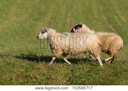 Two Sheep (Ovis aries) Run Left - at sheep dog herding trials