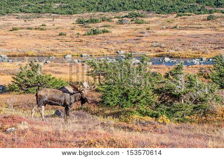 Bull moose in fall during the rut
