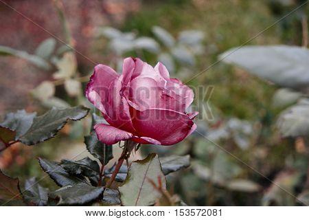 Lonely violet rose flower wilting in autumn garden. Vintage film like color filter.