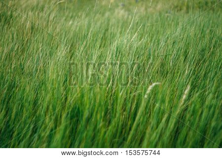 Green grass with blur at the edges. Background, texture, pattern