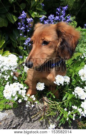 Longhair dachshund puppy outside.