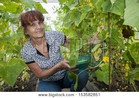 Pleased pensioner collects cucumbers in a greenhouse