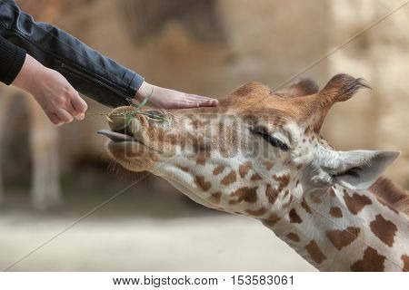 DOUE-LA-FONTAINE, FRANCE - JULY 2, 2016: Visitors feed and touch the Kordofan giraffe (Giraffa camelopardalis antiquorum), also known as the Central African giraffe at Doue-la-Fontaine Zoo, France.