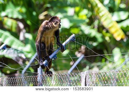 Geoffroy's Spider Monkey - Ateles Geoffroyi