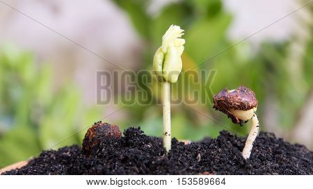 Green sprout growing from seed in organic soil, Agriculture and Seeding Plant seed growing step concept