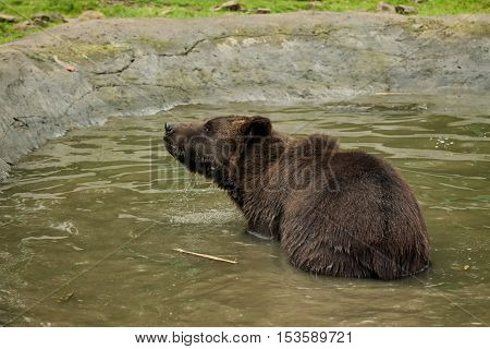 Brown bear stands in the water with water flows down from his fur