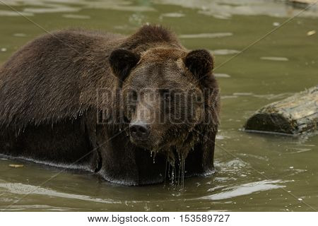 Wild bear stands and stares in the river with water flows down from his fur