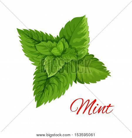 Mint emblem. Vector isolated leaves bunch of mint herb. Cooking, mojito juice cocktail, chewing gum and salad dressing ingredient for decoration, package design element, sticker, label