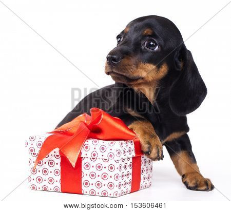 dog dachshund and gift