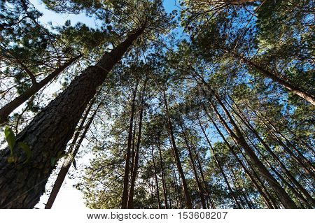 The trees in the blue sky select focus