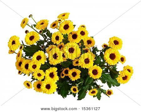Bouquet of yellow fall chrysanthemums, view from above