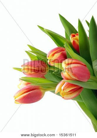 Tulips, detail of bunch, isolated