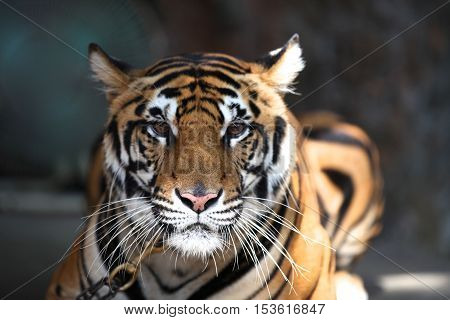 largest representative of the family cat - a tiger Thailand Southeast Asia