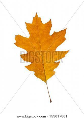 Autumn leaf, isolated on white