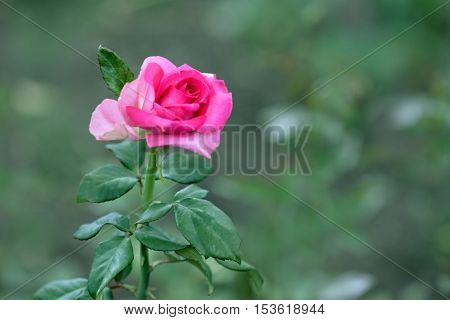 Close up view of beautiful rose on blurred background