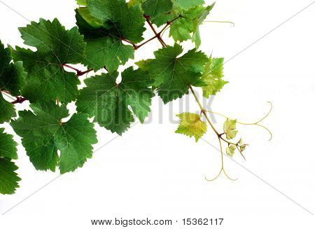 Grapevine, isolated on white background
