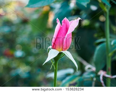 Rose Bud with pink petals photographed in close-up with soft, selective focus