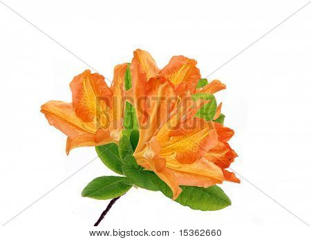 Azalea japonica - isolated branch in blossom