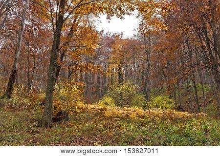 Amazing landscape with Yellow leafs of beech, Vitosha Mountain, Sofia City Region, Bulgaria