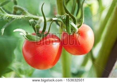 Tomato In The Greenhouse