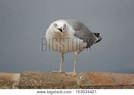 Closeup view of screaming and angry seagull over tile roof