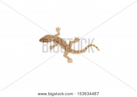 Young lizard isolated on white background .
