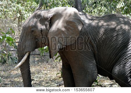 Elephant lone taken closely in Tanzania for the parc