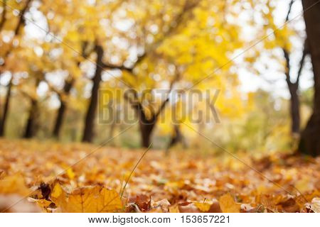 autumn trees out of focus, natural bokeh background