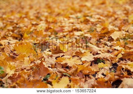 The background of the fallen autumn leaves.