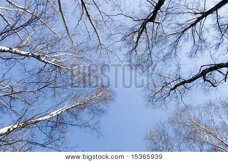 Top of birches and blue sky.
