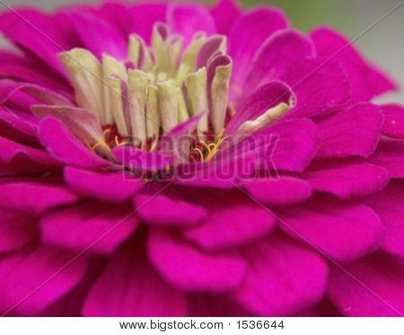 Close Up Of Pink Fuchsia Zinnia Flower