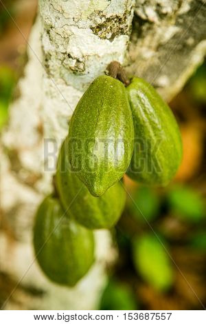 Unripe Cocoa pods on a tree in Ogun State, Nigeria