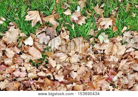 Autumnal background. Dry maple leaves on green grass in late autumn.