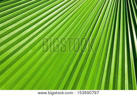 Lines Abstract Image Of Green Palm Leaves