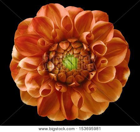 Dahlia flowerred-orange green center black background isolated with clipping path. Closeup. with no shadows. Nature.