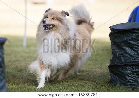 Dog, Scotch Collie, running at training hoopers