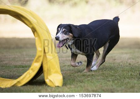 Dog, Appenzeller Sennenhund running in training agility