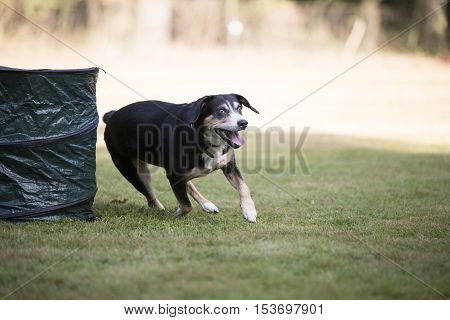 Dog, Appenzeller Mountain Dog running on grass