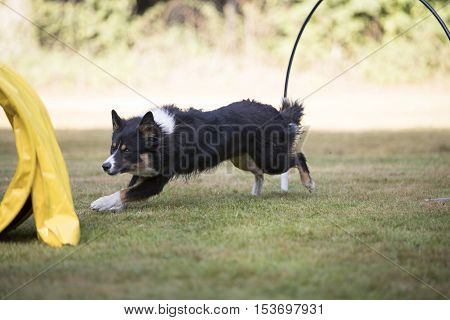 Border Collie dog running in training hoopers