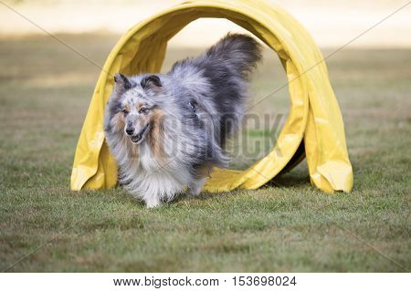 Shetland Sheepdog Sheltie running throug agility tunnel