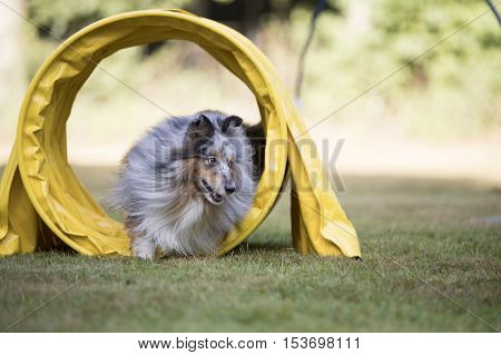 Shetland Sheepdog Sheltie running through agility tunnel