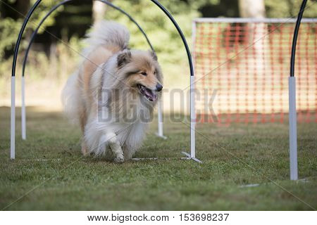 Dog, Scottish Collie in a hooper competition