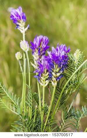 Asaraty Astragalus (Astragalus onobrychis) is a perennial herbaceous plant. The legume family - Fabaceae Lindl. (Leguminosae Juss.) Wild medicinal plants of Siberia