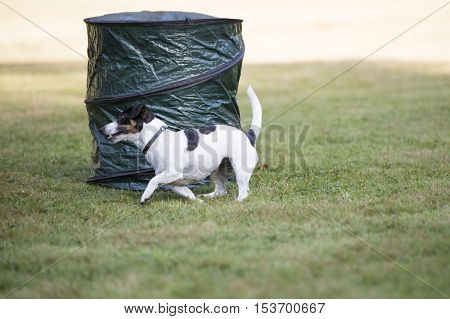 Dog, Jack Russell Terrier, running in hoopers training