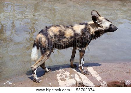 African wild dog (Lycaon pictus) is carnivorous mammal of canine family, closest relative of red wolf. African wild dog is more like hyena. African wild dog lives in Savannah and hunts in packs.