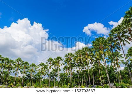 Many of Palm treescoconut trees against blue sky and clouds.
